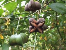40 Sacha Inchi Inca Peanuts,Plukenetia volubilis.Fresh Seed