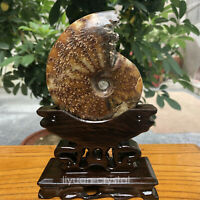 Natural ammonite fossil conch Crystal specimen healing+stand1PC