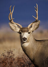 Mule Deer - 3D Postcard Lenticular Greeting Card