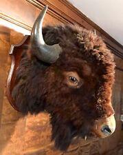 North American Mature Bison Bull Shoulder Mount