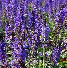 Salvia New Dimension Blue - 20 seeds - Perennial