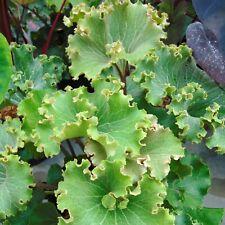 Calanthe scolorisce 2L Pianta in Vaso Orchidea Hardy