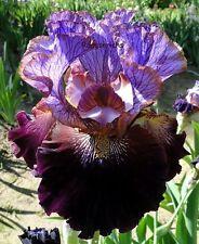 "New listing Tall Bearded ""One Of A Kind"" Iris - Lilac Veined Plum, Velvety Black Cherry '10"