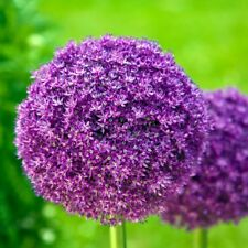 PRE-ORDER-5 x Allium Giganteum Bulbs.Globes of Lilac Pink flowers Easy to grow.