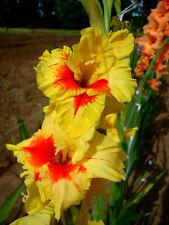 Gladiolus Bulbs Jester (20) Fresh Perennials Sweet Gladioli Sword Lily