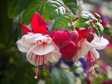 Double Red and White Fuchsia seeds x 50 fresh ready to grow seeds