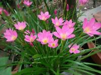 10 BULBS RAIN LILY ZEPHYRANTHES ROSEA .FLOWERING SIZE.