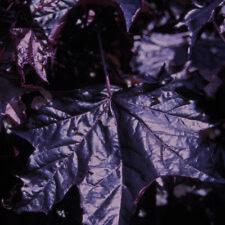 Acer Palmatum Crimson King 12 Litre
