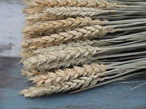 30PCS DRIED WHEAT STEMS BUNCH WEEDING FLOWERS HARVEST NATURAL DECORATION