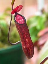 PITCHER NEPENTHES CARNIVOROUS INSECT FLY TRAP FLOWER SEEDS GARDEN PLANT SEED
