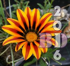 Gazania Rigens Flower - Kiss Golden Flame - mixed 37 seeds - Original Pack_26
