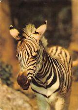BR89023 tiger tigre   animal animaux