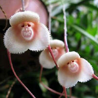 New 10pcs Monkey Face Orchid Flower Seeds Plant Seed Bonsai Home Garden Nice