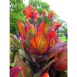 CANNA TROPICANNA  INDIAN SHOT 9 CM PLANT UNUSUAL TROPICAL EXOTIC CONTAINER