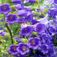 200 Canterbury Bells Blue Seeds