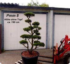 Pinus, Kiefer, Bonsai, Gartenbonsai, Formgehölz, Formschnitt,  Niwaki, Pmm 8