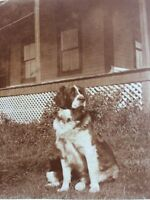 """antique cabinet photo of DOG - MAINE - Named """"MAJOR"""" Cute c 1900 cottage Sepia"""