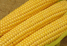 Corn seeds Brusnytsya sweet Ukraine heirloom seeds