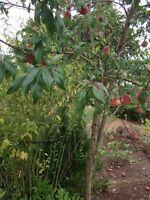 Außergewöhnlicher Obstbaum ! Winterharte Pfirsichbäume / Stecklinge & Pulver