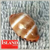 GEM! Cypraea lutea bizenata #8, 17.6mm, EXQUISITE BEAUTY from the Philippines
