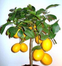 50Pcs Lemon Tree Indoor Outdoor Heirloom Fruit Seeds