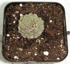 Echeveria globulosa - 5 plants