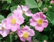 Rosa pimpinellifolia Burnet Rose 15 seeds