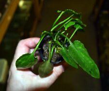 Cryptocoryne pontederiifolia - Rare Aquatic Plant