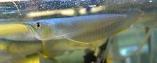 Wild-Caught Silver Arowana, Osteoglossum Bicirrhosum, Freshwater Live Fish