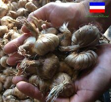 500 Bulbi di Zafferano (Crocus sativus) calibro 9/10 PREVENDITA