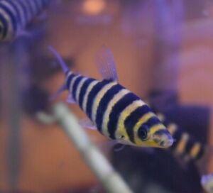 """Live Leporinus Fasciatus (Rare 4"""" Aquarium Monster Fish) *PLS READ DESCR*"""
