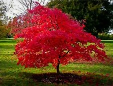 25 October Red Maple Tree Seeds Acer Rubrum *Freshly Picked Spring 2019 Usa*