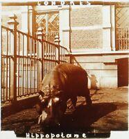 Ippopotamo Londra Zoo UK Foto Stereo Placca Da Lente Vintage c1910