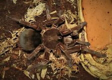 "BURGUNDY GOLIATH BIRDEATER (T stirmi) 9"" adult female livefood"