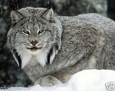 Canadian Lynx 8 x 10 / 8x10 GLOSSY Photo Picture Image #4