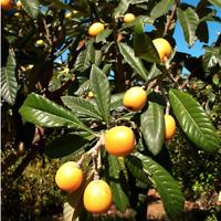 Loquat - Eriobotrya japonica Live Fruit Plant Garden attracts birds