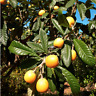 Loquat - Eriobotrya japonica Live Fruit Plant Garden attracts birds