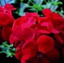 Geranio-Horizonte Rojo - 10 Semillas