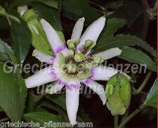 Passiflora RUBRA 5 Seme rossi essbare Frutti PIÙ DI UN ANNO Maracuja Frutta