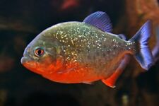 RED BELLIED PIRANHA *Serrasalmus nattereri* Freshwater 2cm to 4cm