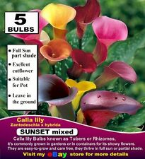 CALLA LILY- Zantedeschia  * SUNSET Mix- MEDUM size 5 x BULBS