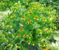 EUPHORBIA 'REDWING' x3 JUMBO PLUGS- Evergreen !!!!