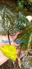 Cryptocoryne Sp. Queen Vandom
