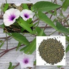 Thai red morning glory from thai 50 seeds non GMO from THAILAND
