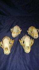 1 Real animal bone raccoon skull skeleton head taxidermy parts teeth old craft