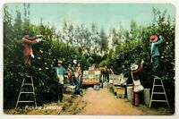 Workers Picking Lemons California Farm Orchard Postcard CA 1900's 1910's