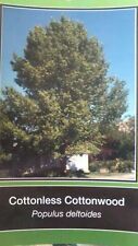 Cottonless Cottonwood Tree Fast Growing Live Shade Trees New Easy Hardy Healthy