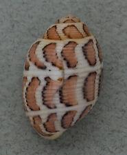 Coquillage de collection : Punctacteon eloiseae Rare (24 mm - F++)