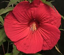 """FIREBALL Hardy Hibiscus -- Plant in 4.5"""" pot"""