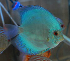 Blue Diamond Discus, Extra Large - Beautiful Live Freshwater Tropical Fish - XL